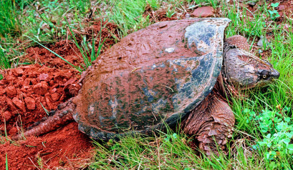Snapping Wall Art - Photograph - Snapping Turtle Chelydra Serpentina by Millard H. Sharp