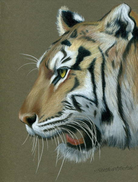 Bengal Tiger Drawing - Snarl by Heather Mitchell