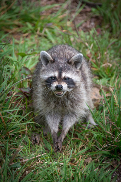 Photograph - Snarling Raccoon by Joye Ardyn Durham