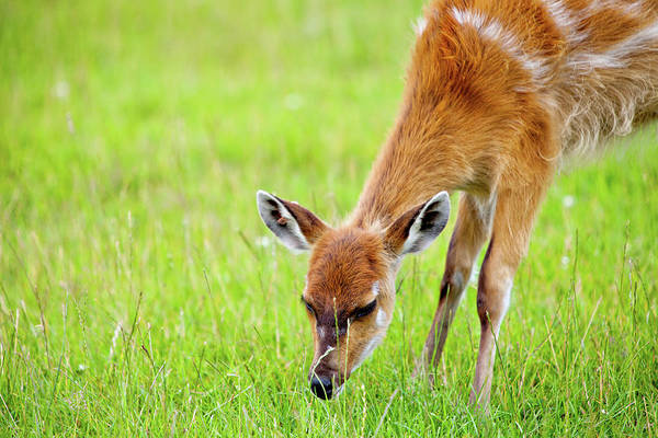 Fawn Photograph - Sniff by Chalk Photography