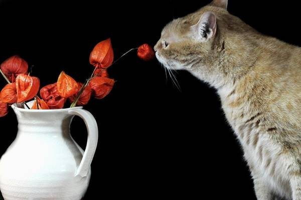 Orange Tabby Photograph - Sniff by Diana Angstadt