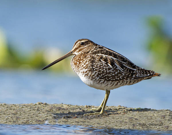 Photograph - Snipe by Mike Fitzgerald