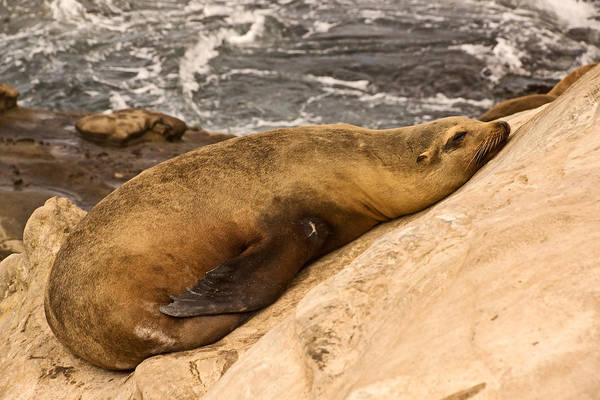 Photograph - Snoozing On The Rocks by Theo OConnor