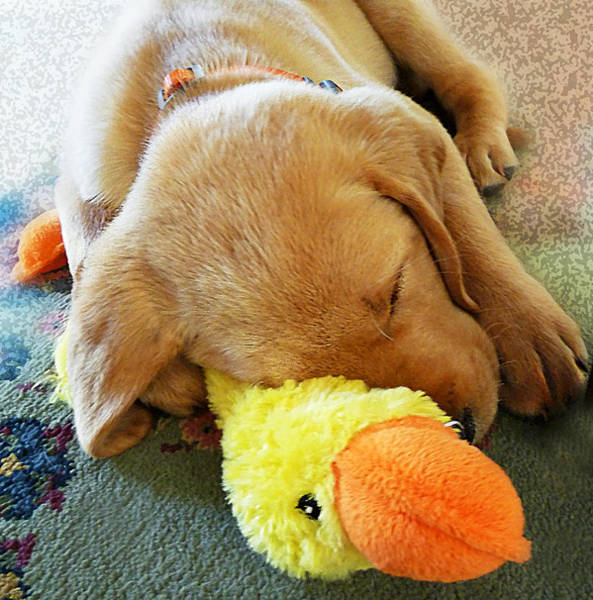 Wall Art - Photograph - Snoozing With My Duck Fell Asleep On A Job Puppy by Irina Sztukowski
