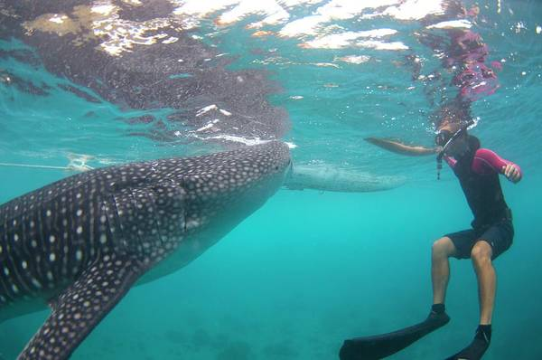 Ocean Life Photograph - Snorkeler With A Whale Shark At Surface by Scubazoo