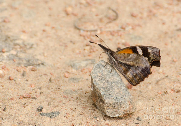 Snout Butterfly Photograph - Snout Butterfly  by Donna Brown