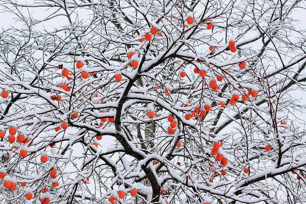 Covering Photograph - Snow And A Persimmon Tree by Koichi Watanabe