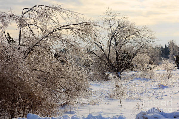 Southern Ontario Photograph - Snow And Ice Covered Trees by Louise Heusinkveld