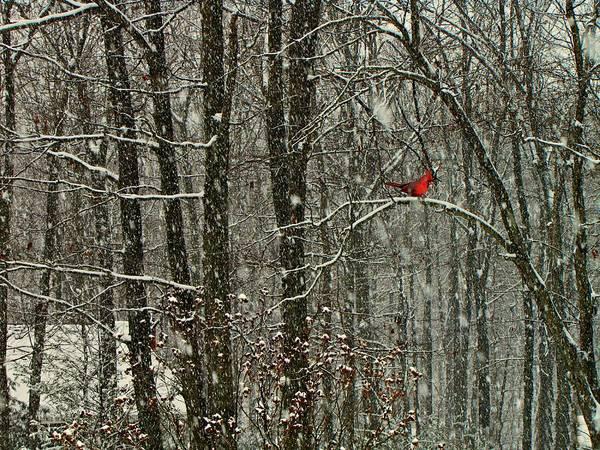 Photograph - Snow Bird by David Dehner