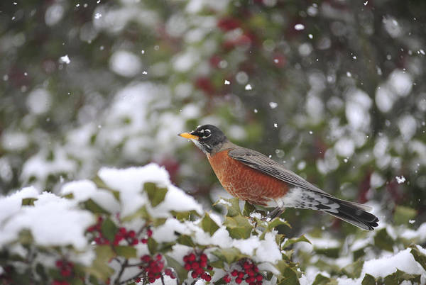 Photograph - Snow Bird by Terry DeLuco