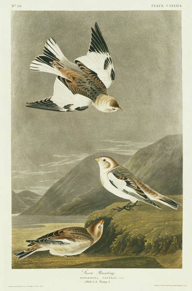 Wall Art - Photograph - Snow Bunting by Natural History Museum, London/science Photo Library