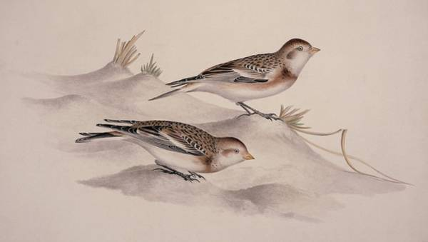 Wall Art - Photograph - Snow Buntings, 19th Century Artwork by Science Photo Library
