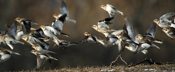 Photograph - Snow Buntings Taking Flight by William Selander