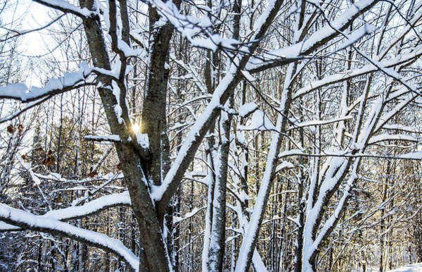 Photograph - Snow Covered Branches by Alana Ranney