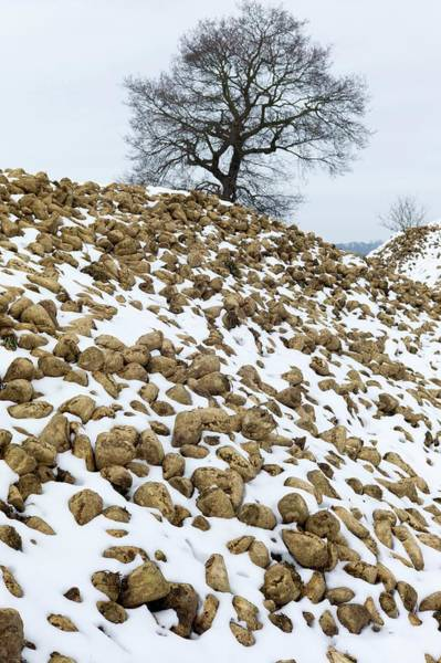 Beet Wall Art - Photograph - Snow-covered Heap Of Sugar Beet by Dr Jeremy Burgess/science Photo Library