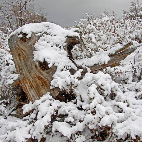 Frozen River Digital Art - Lake Arrowhead's Snow Covered Pine Tree Stump by Kenny Bosak