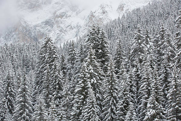 Pine Tree Photograph - Snow Covered Pine Trees In The Alps by Werner Van Steen