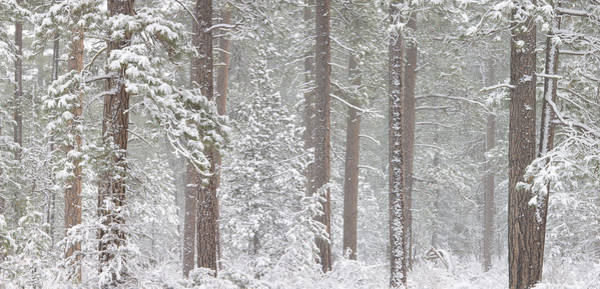 Wall Art - Photograph - Snow Covered Ponderosa Pine Trees by Panoramic Images