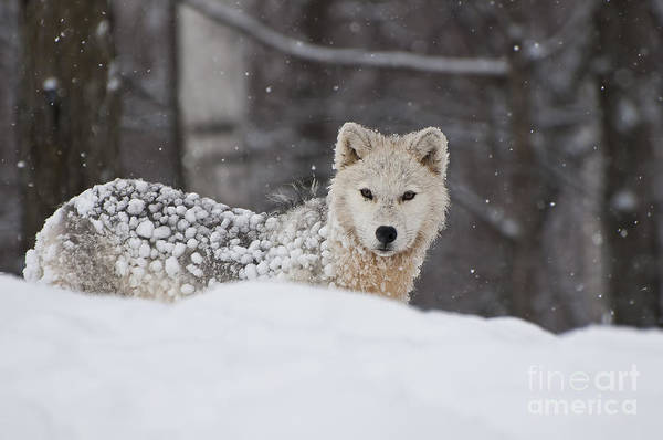 Photograph - Snow Covered Puppy by Wolves Only