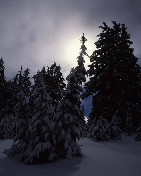 Hemlock Photograph - Snow Covered Western Hemlock And Fir by Panoramic Images