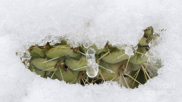 Wall Art - Photograph - Snow Covers Cholla Cactus After Rare by John Shaw
