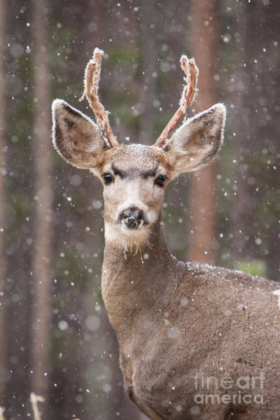 Photograph - Snow Deer 1 by John Wadleigh