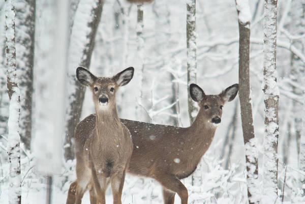 Crossville Wall Art - Photograph - Snow Deer by Douglas Barnett