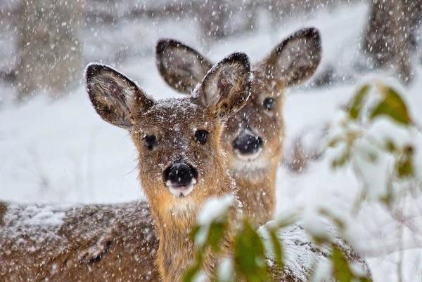 Doe Photograph - Snow Does by Betsy Knapp