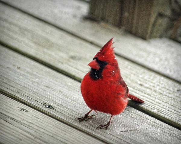 Photograph - Snow Dusted Cardinal by Cricket Hackmann