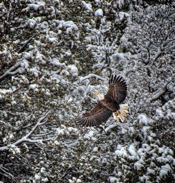 Photograph - Snow Flight Bald by Britt Runyon