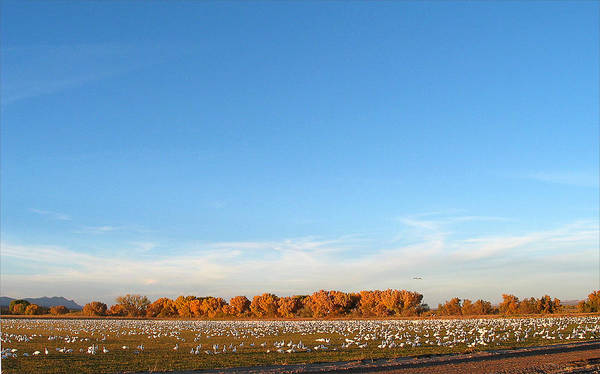 Photograph - Snow Geese And Sky - Bosque - Nm by Steven Ralser