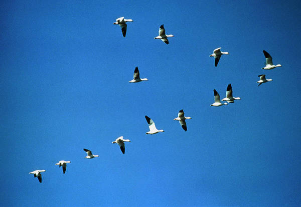 Snow Goose Photograph - Snow Geese (anser Caerulescens) Flying In V-shape by William Ervin/science Photo Library