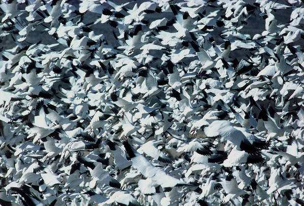 Snow Goose Photograph - Snow Geese (anser Caerulescens) In Flight by William Ervin/science Photo Library