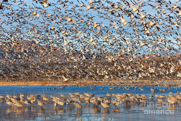 Photograph - Snow Geese Blast-off by Clarence Holmes