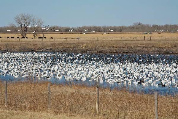 Animal Behaviour Photograph - Snow Geese Flock by Jim West
