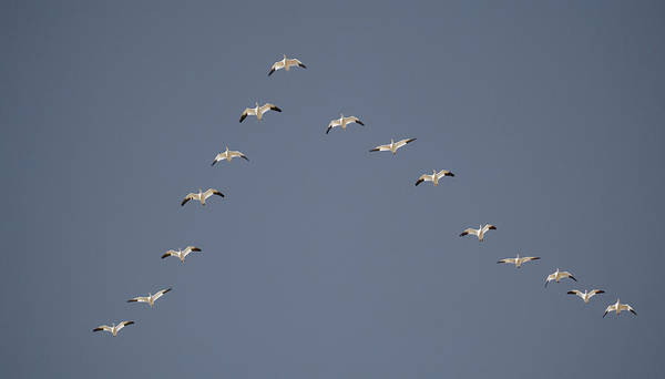 Migrate Photograph - Snow Geese Flying In V Formation by Jaynes Gallery