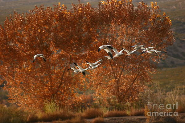 Photograph - Snow Geese In Cottonwoods by John F Tsumas
