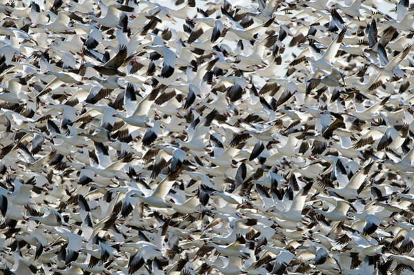 Birds Of Texas Photograph - Snow Geese In Flight by D Williams Photography