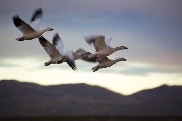 Wall Art - Photograph - Snow Geese In Flight by Panoramic Images