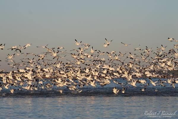 Photograph - Snow Geese Over Little Assawoman Bay by Robert Banach