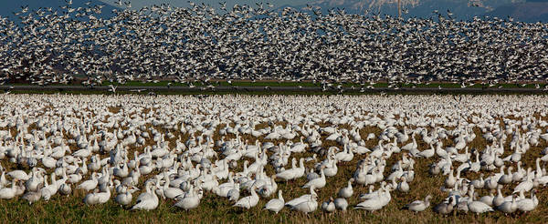 Wall Art - Photograph - Snow Geese, Skagit Valley, Washington by Art Wolfe
