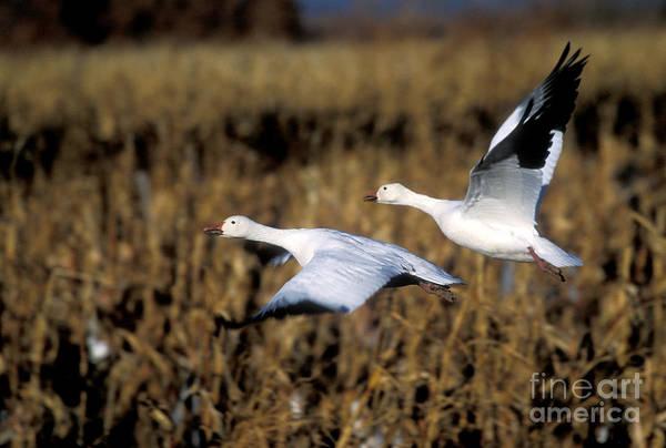 Photograph - Snow Geese by Steven Ralser