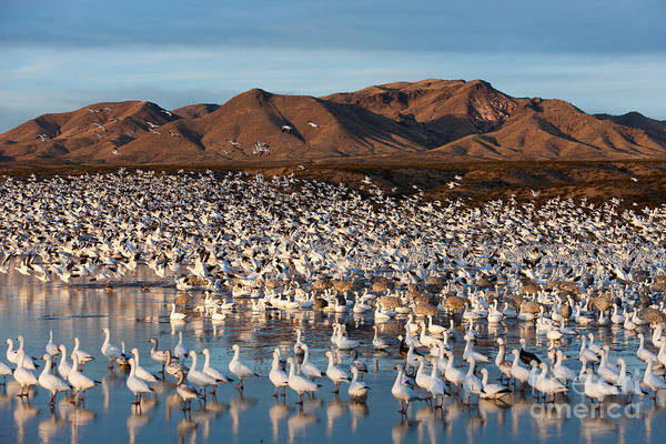 Photograph - Snow Geese Take Flight by Clarence Holmes