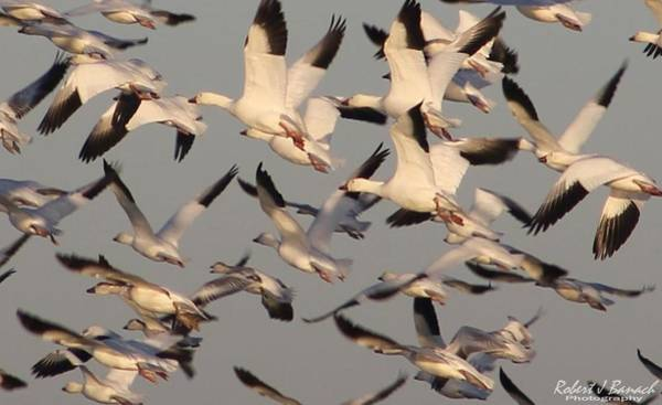 Photograph - Snow Geese Taking Flight by Robert Banach