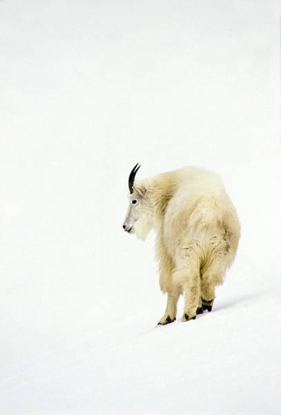 Photograph - Snow Goat by D Robert Franz