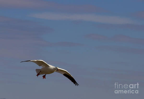 Snow Goose Photograph - Snow Goose Approach by Mike Dawson