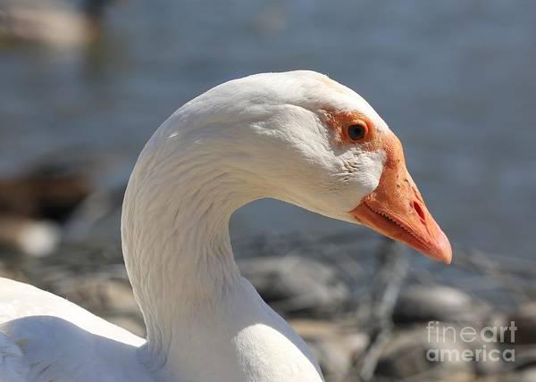 Photograph - White Goose Closeup by Carol Groenen