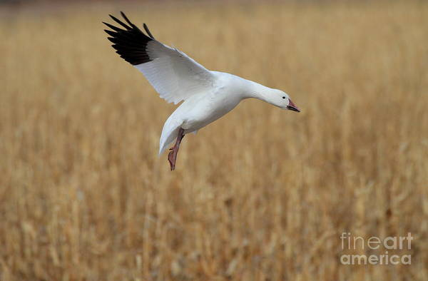 Wall Art - Photograph - Snow Goose Landing by Ruth Jolly