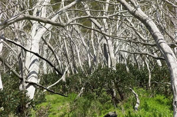 Eucalyptus Photograph - Snow Gums Regenerating After Fire by Dr Jeremy Burgess
