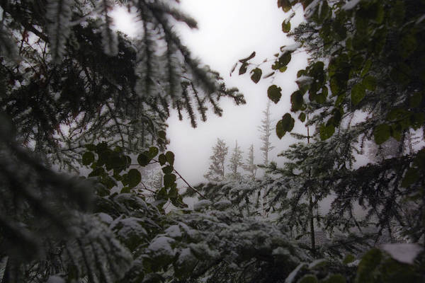 Photograph - Snow In Trees At Narada Falls by Greg Reed